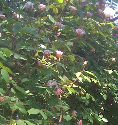 Cecile Bruner climbing rose