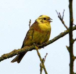 Yellowhammer