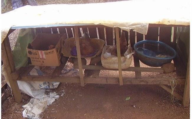 tempat bertelur ayam kampung dari kardus