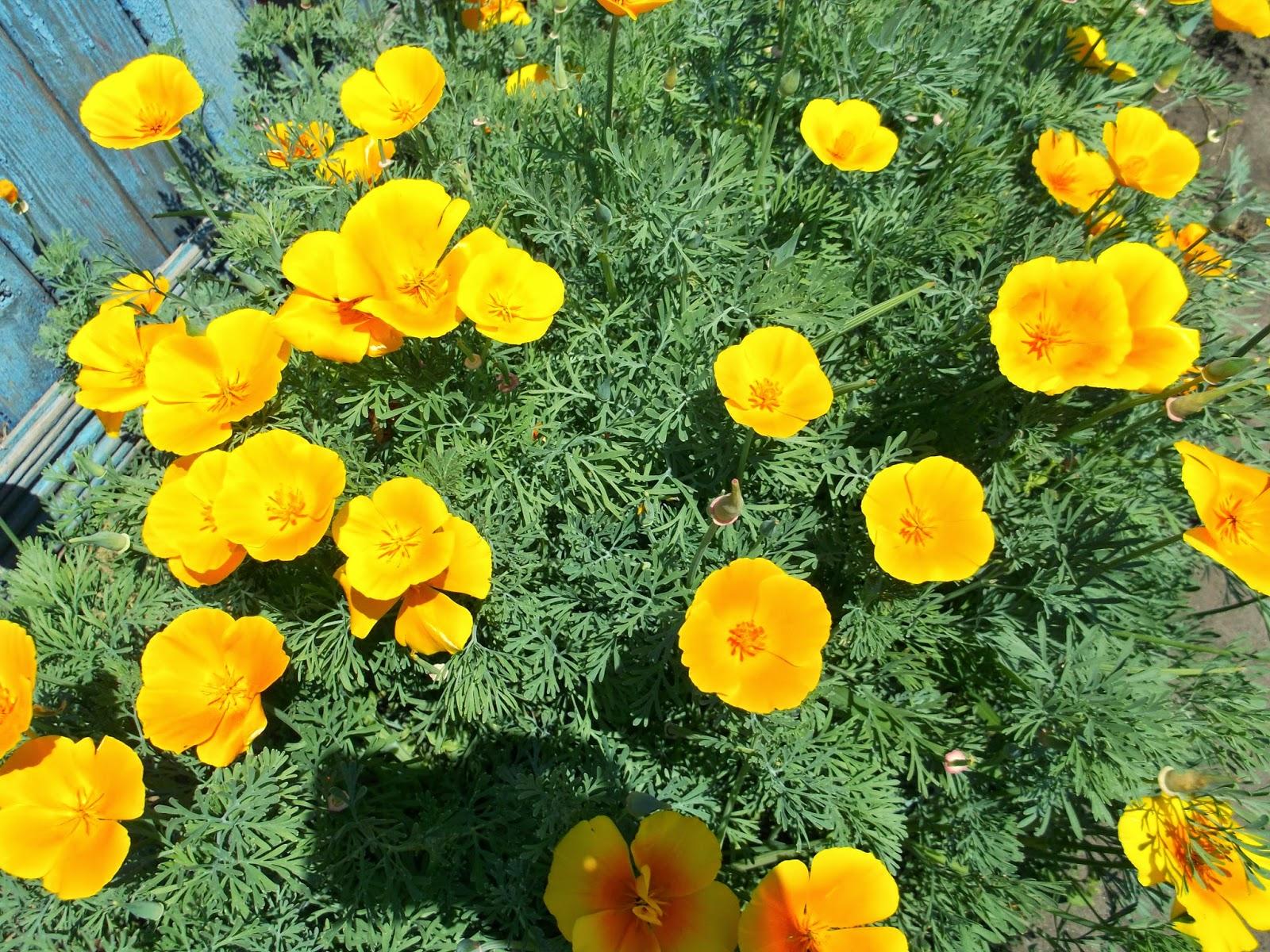 Эшшольция фото цветов 11 фотография