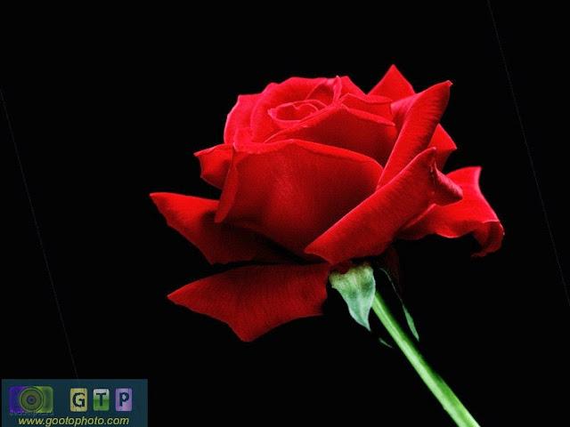 صور ورد احمر وردة جوري بخلفية سوداء