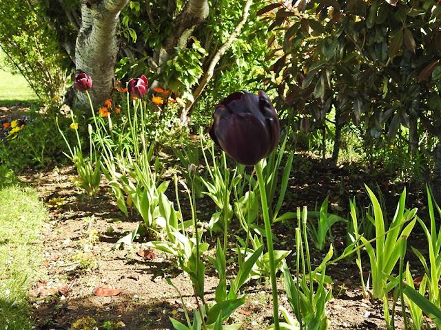 dark-tulip