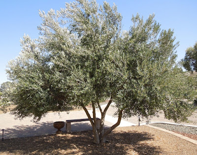 Niner Estates Olive Tree, © B. Radisavljevic