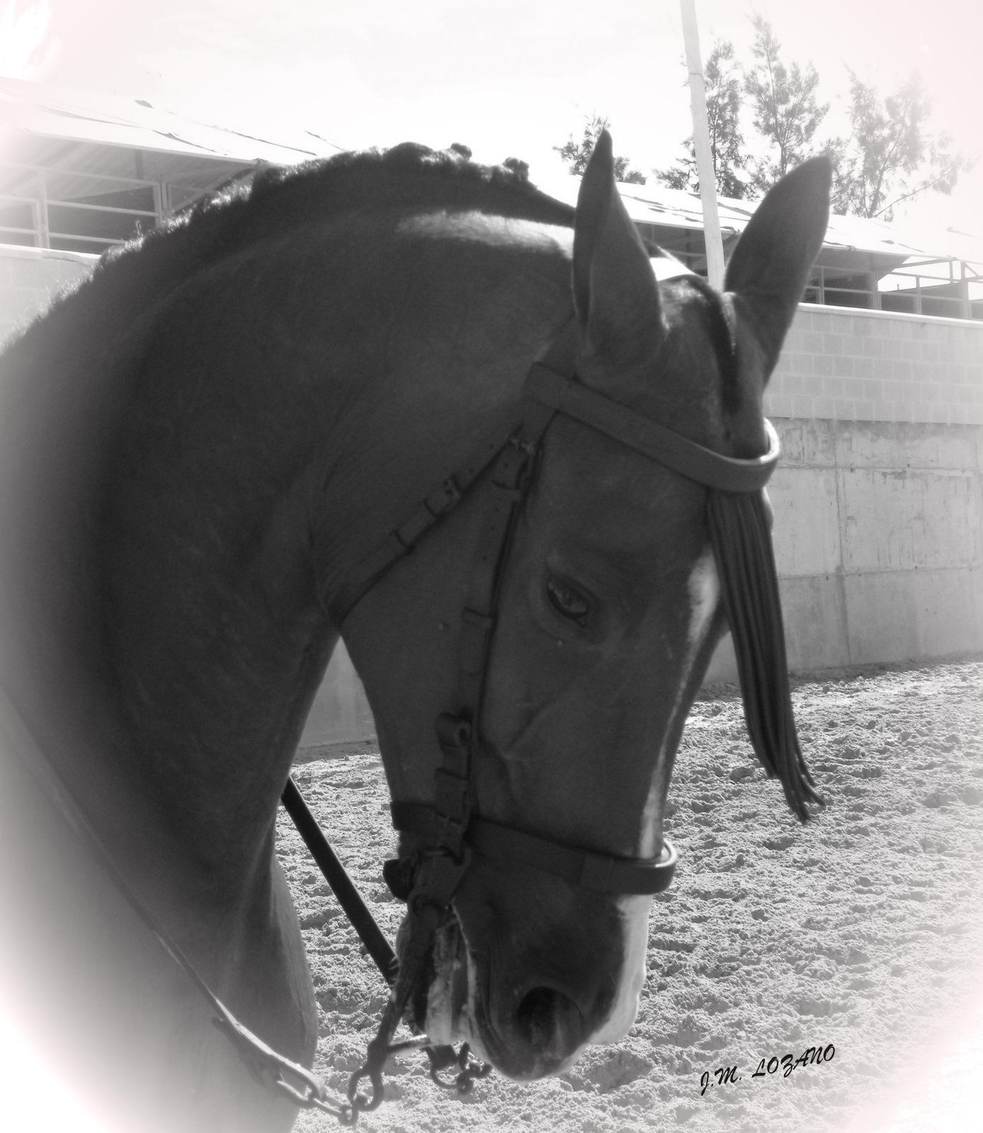 Y el caballo es mi afici n fotos en blanco y negro - Fotos en blanco ...