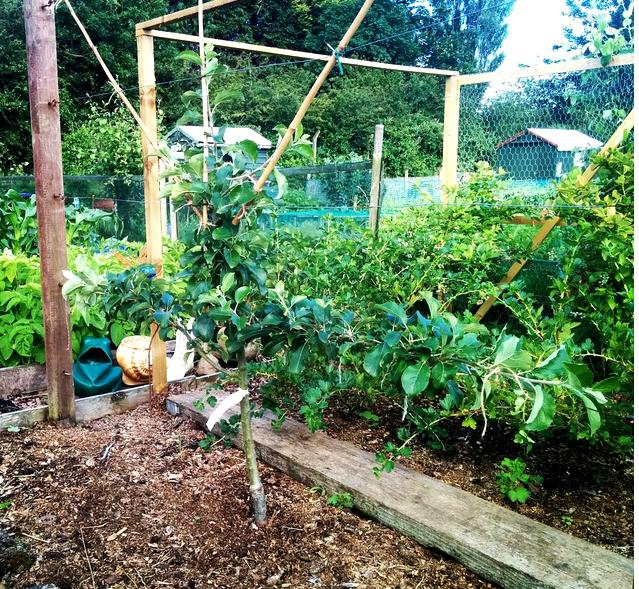 espaliered apple tree- growourown.blogspot.com ~ an allotment blog