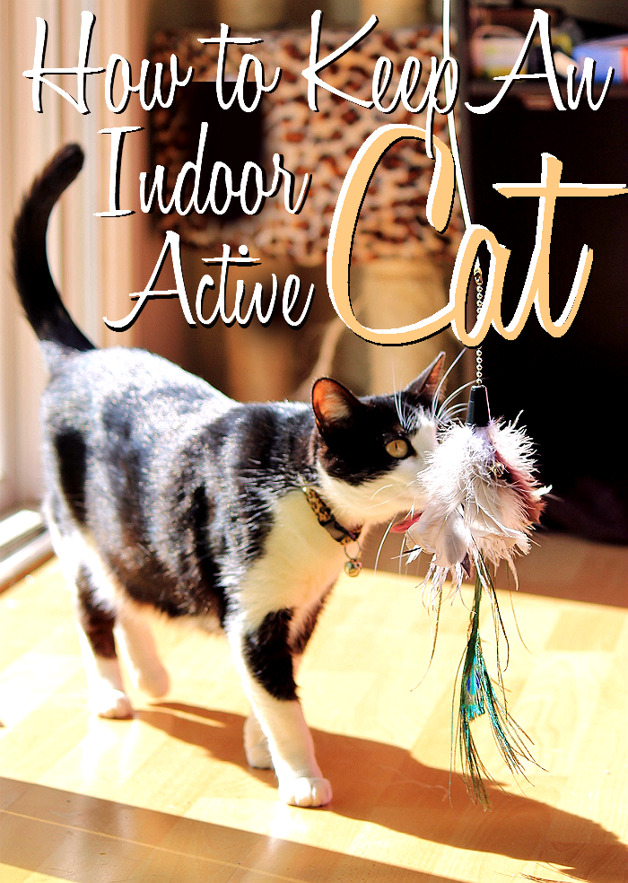 Simple tips for keeping an indoor adult cat active and healthy.