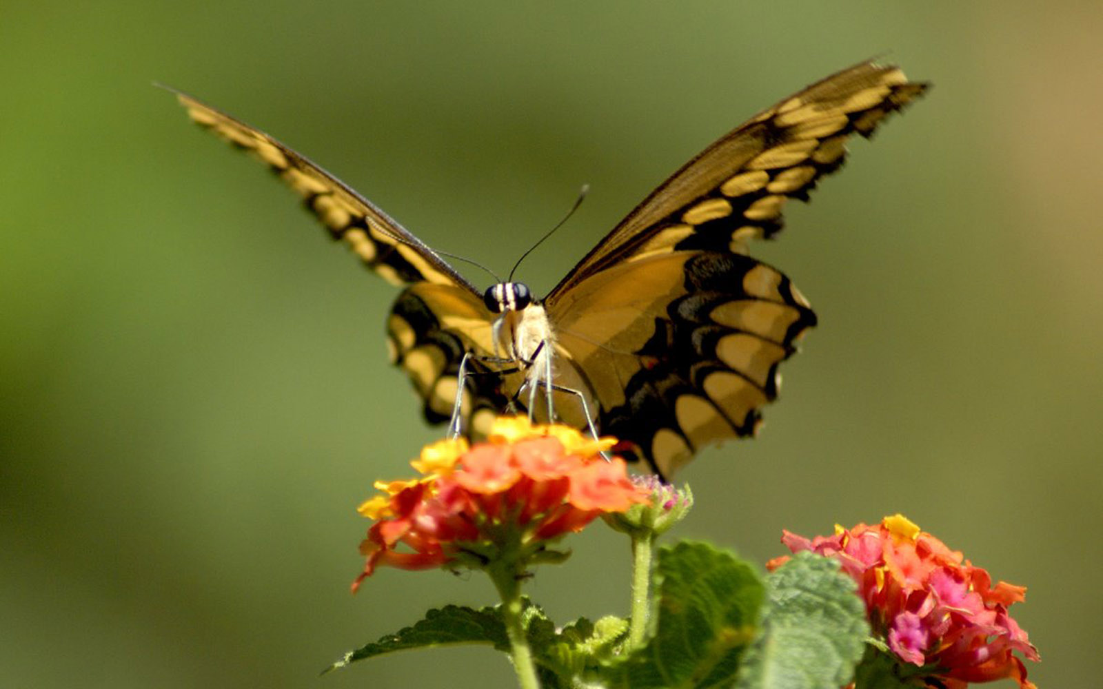 News butterfly beautiful butterfly pictures for Butterfly on flowers