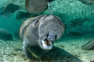 Lembu Laut