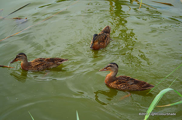 Female mallard ducklings