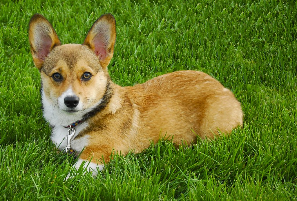 11. Corgi in Grass