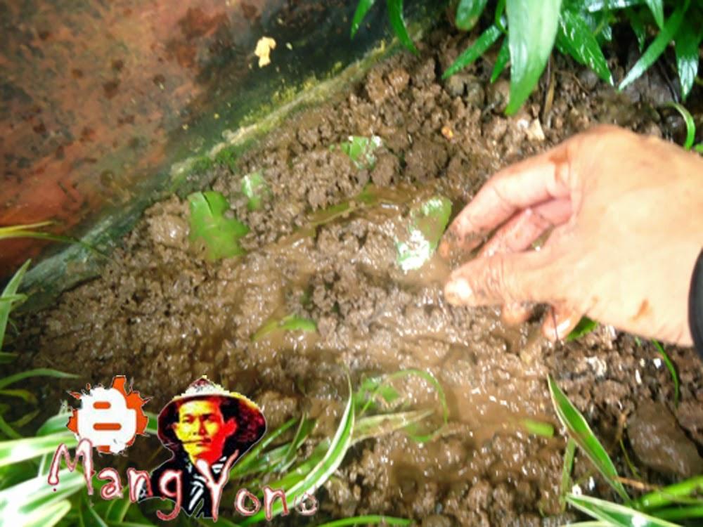 Taburi daun cocor bebek tipis asal irisan daun tidak kering