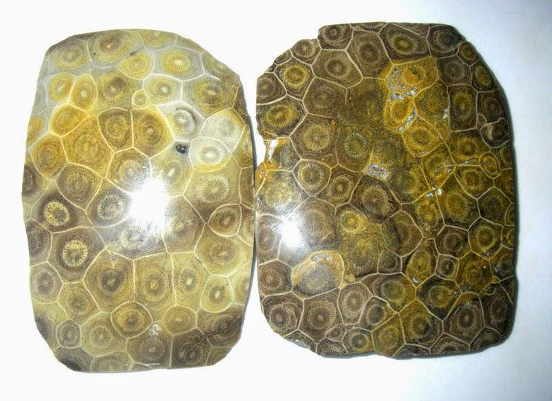 Corail Tigre Fossilisé.