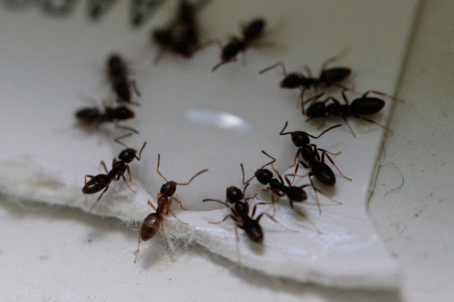 ants drinking Terro ant poison