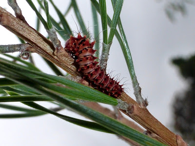 Actias dubernardi caterpillar