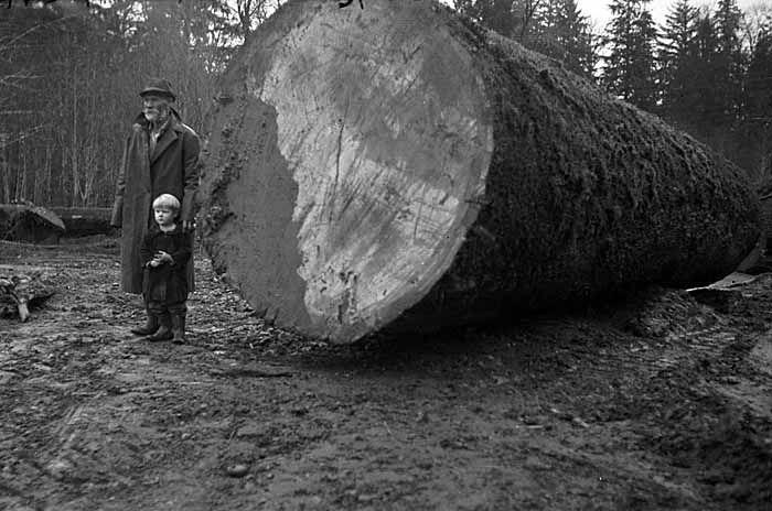 Fotos antiguas de la tala de árboles gigantes