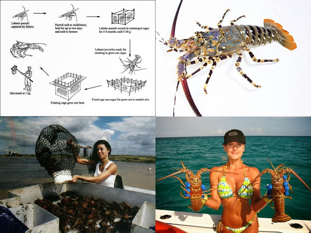 How to Starting a Lobster Farming Business
