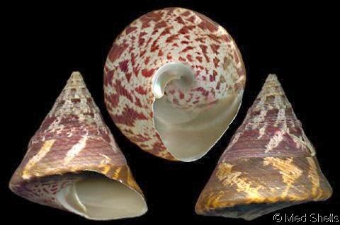 Susu Bundar (Trochus niloticus)