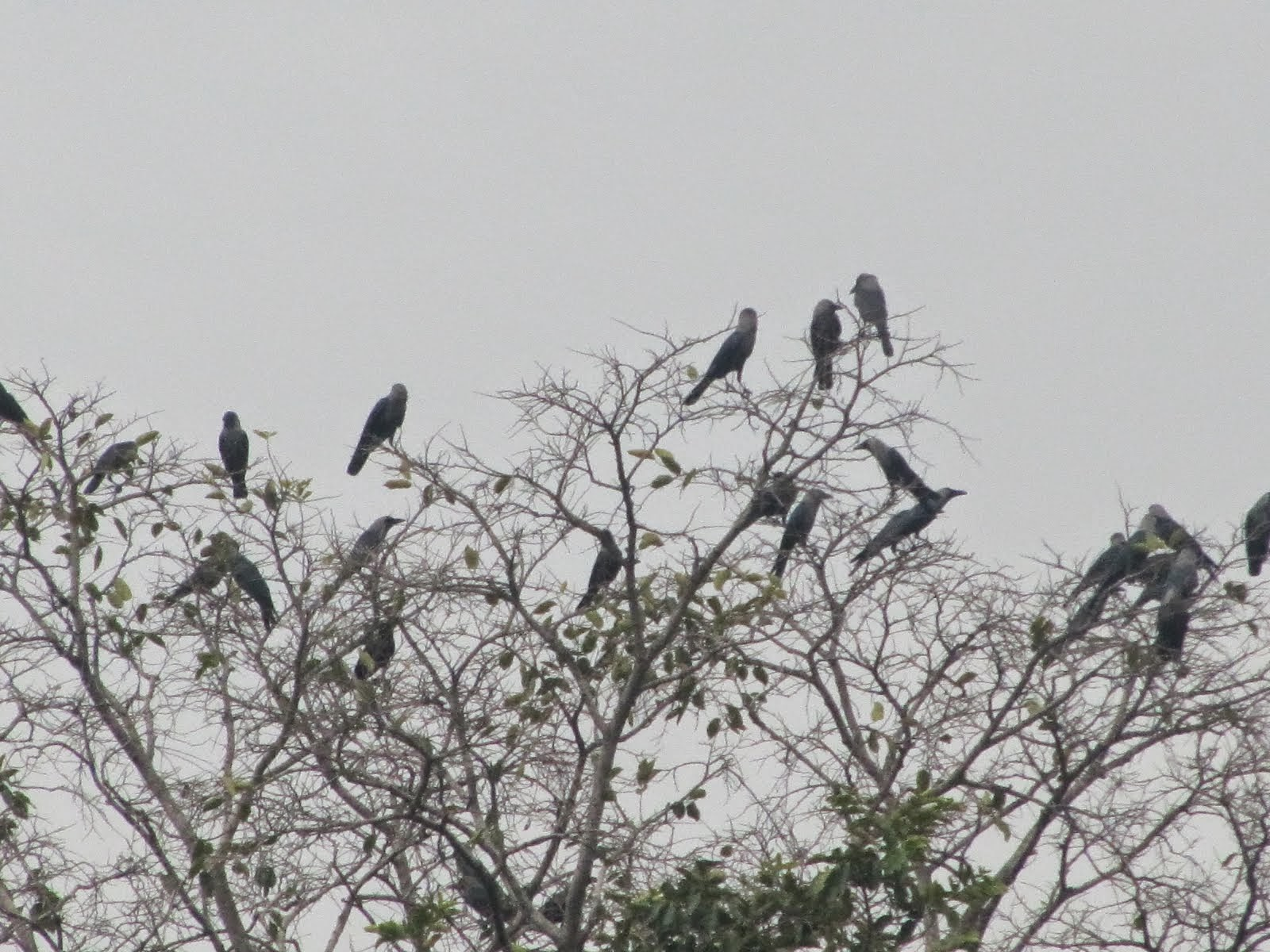 The common Indian crow