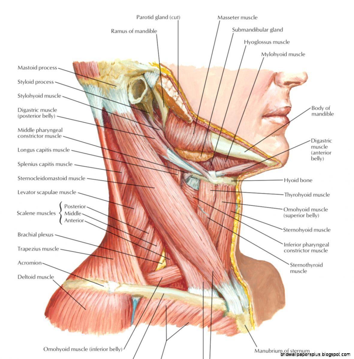 Netter Anatomy Hd Wallpapers Plus