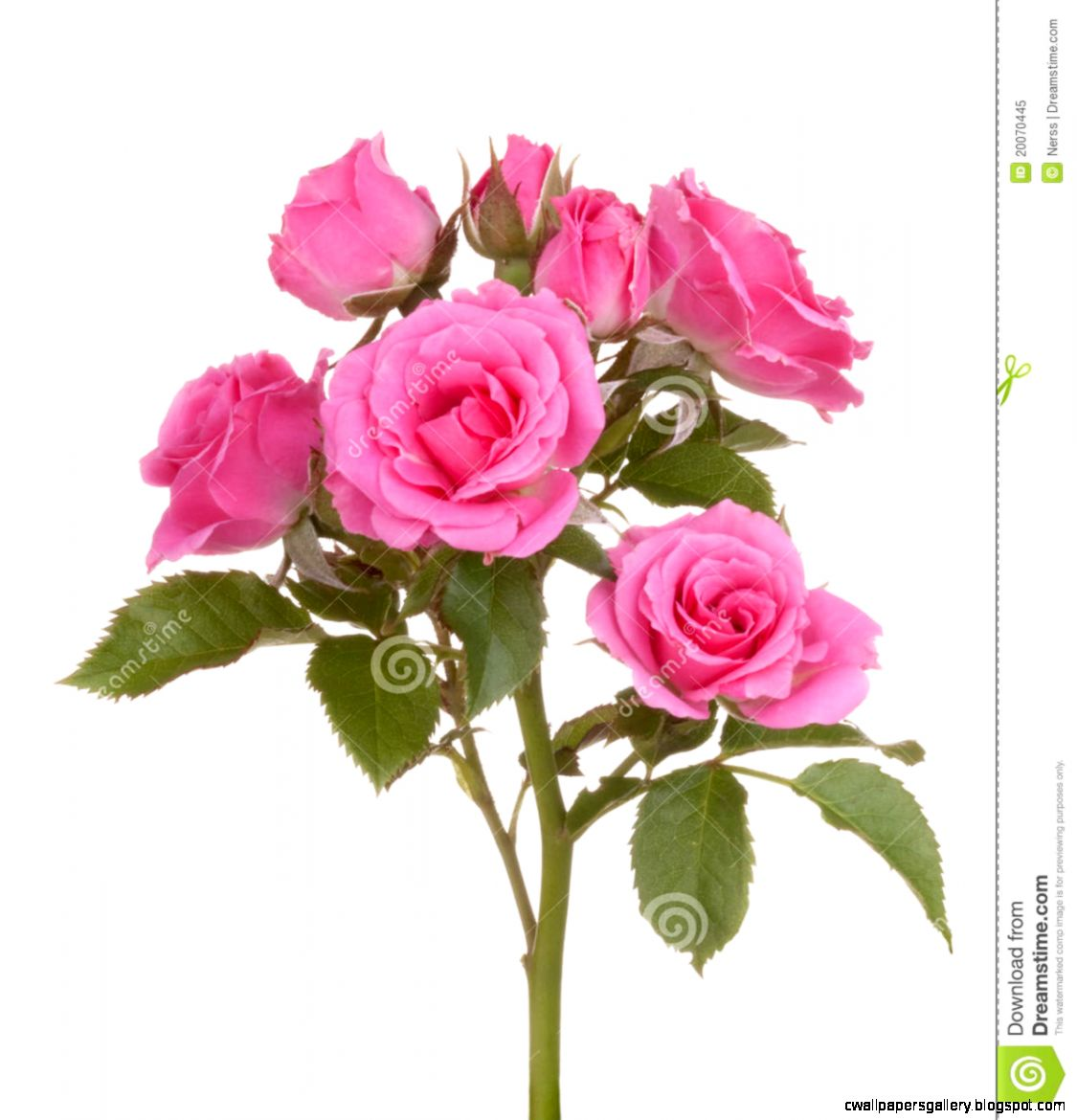 Roses Flowers Pink Rose Flower Royalty Free Stock Photo   Image