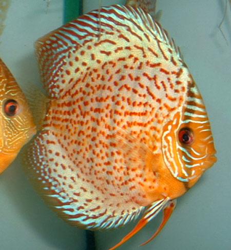 Criadero de peces ornamentales for Manual de peces ornamentales