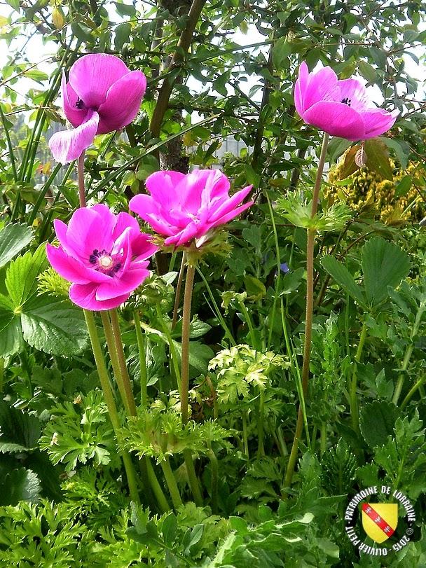 VILLERS-LES-NANCY (54) : Le jardin botanique du Montet-Anémones