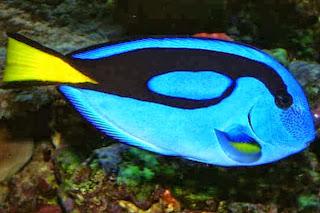 palette surgeonfish information