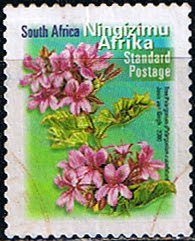 2000 Tree Pelargonium Cucullatum, South Africa