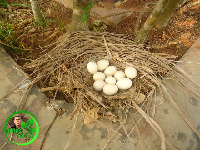 FOTO : Telur ayam yang ditinggalkan sebentar sang induk ayam
