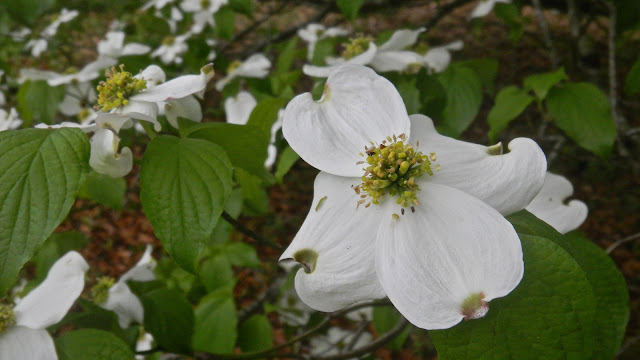 Dogwood blossoms after a rain storm