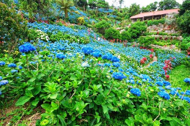 hydrangea, flowers