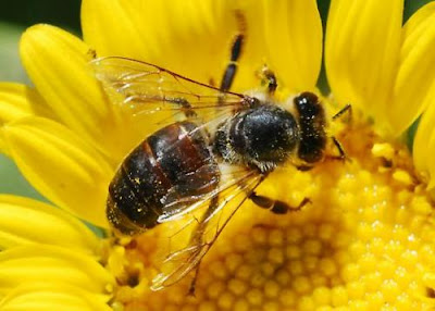lebahpunberselawat
