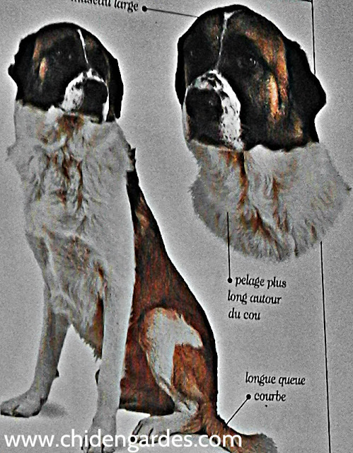 chien de garde portugais