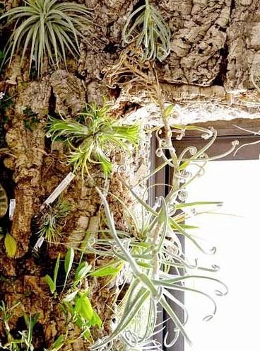 jardin vertical tillandsias