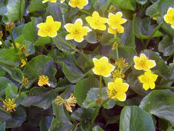 Caltha palustris (Calta farfarugine)