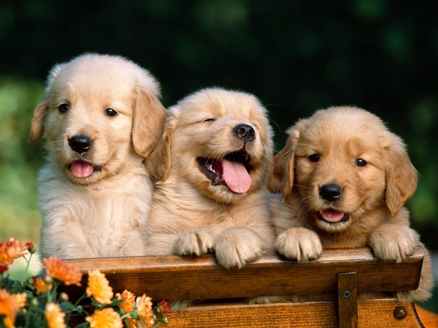 cute golden retriever puppies pictures. cute golden retriever puppy