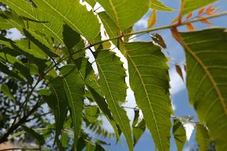 planta neem