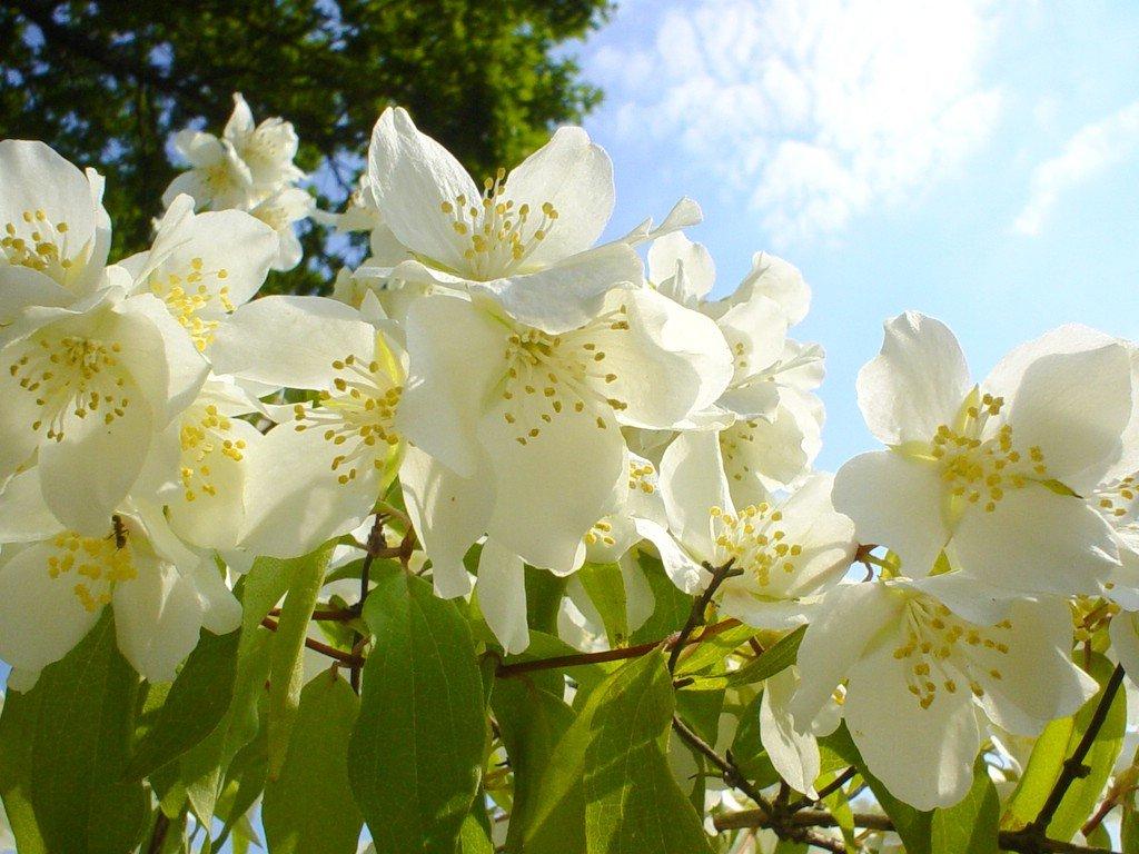 Jasmine Flower Wallpapers Latest News