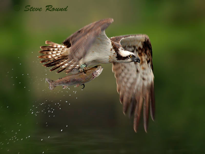 bird, Osprey, flying, fish, catch, bird of prey