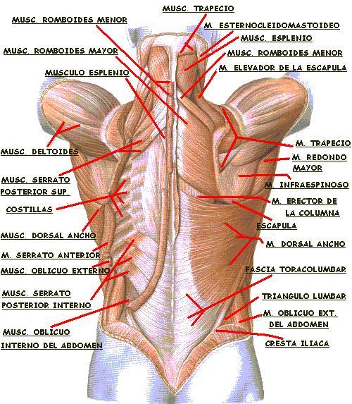 Fisiología básica de la espalda - Blog de nutrición, culturismo ...