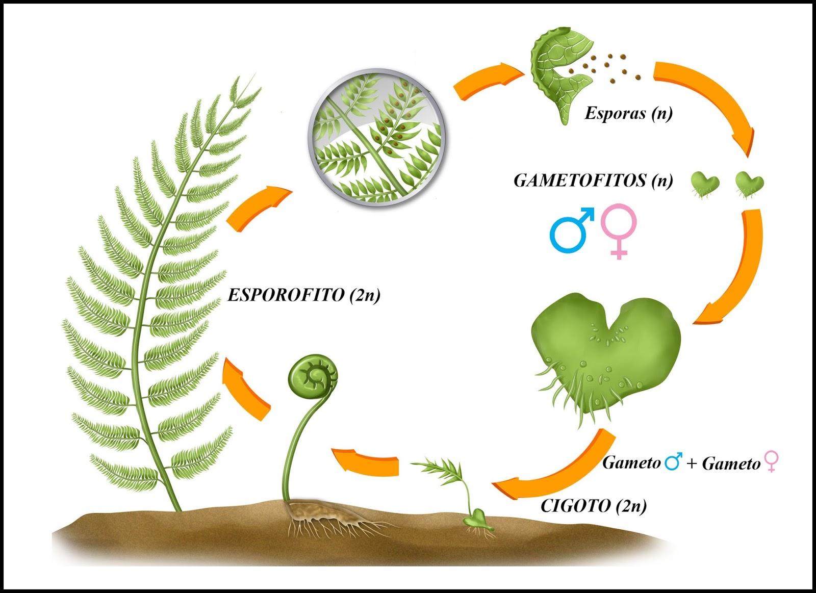 Naturarchives biodiversidad el reino de las plantas - Cuidados de los helechos ...