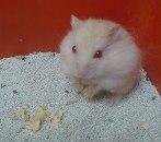 Gambar Hamster Hybrid