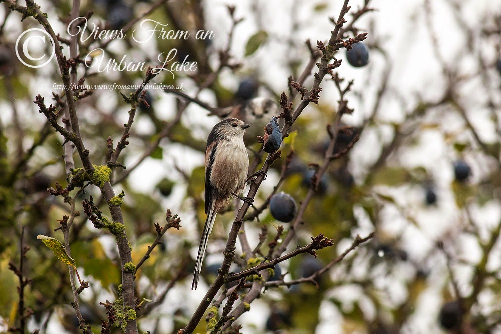 Long-Tailed Tit (eating Sloe/Plum) - Manor Farm, Milton Keynes