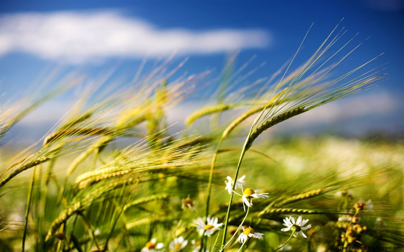Summer wheat and wildflowers Wallpaper  1680x1050 resolution