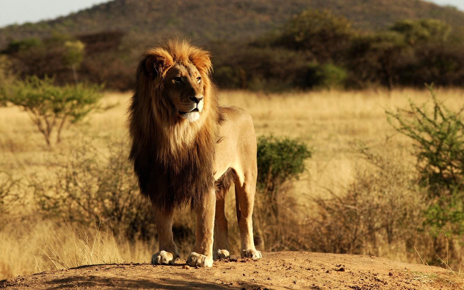 http://3.bp.blogspot.com/-gTPqG-Gl6Mk/Tle5nXOEuZI/AAAAAAAAC8k/FsXWipr3mao/s1600/king_lion.jpg