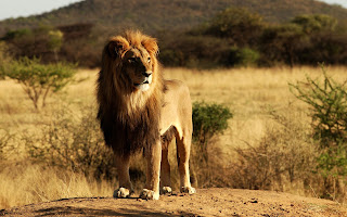 HD Lions, Full size widescreen Lion wallpapers, Lion King Alone in desert HD Wallpapers,, Widescreen, Animals