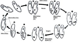 Ciliata (pengertian, Ciri-Ciri, Klasifikasi, dan Peranannya)