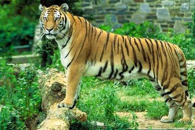 Royal Bengal Tiger, Sundarban