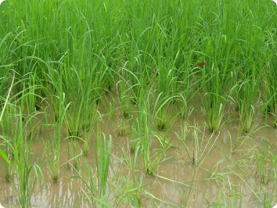 Campo de arroz en China