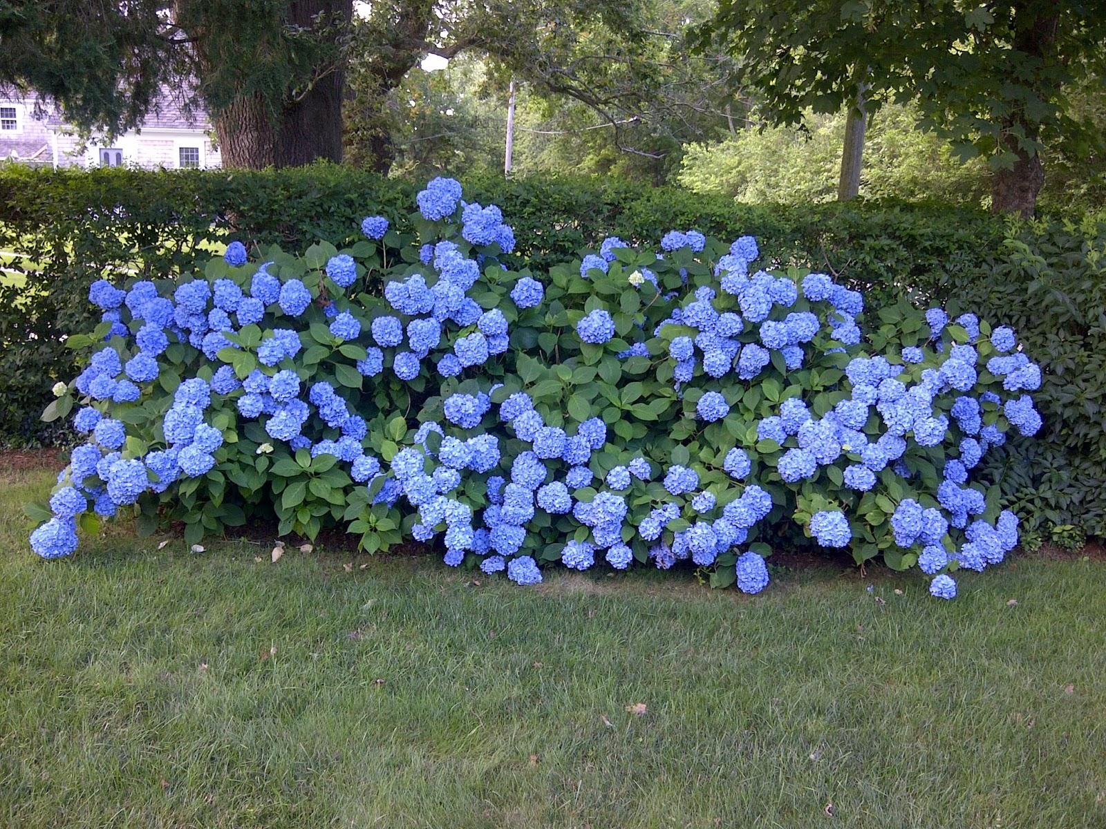 Blue flowering shrubs - Blooming shrubs ...